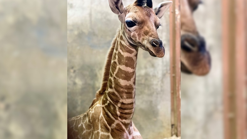 Baby giraffe at the Memphis Zoo