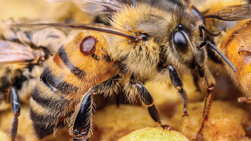 Varroa destructor mites can cause honey bee colonies to collapse by spreading viruses and...