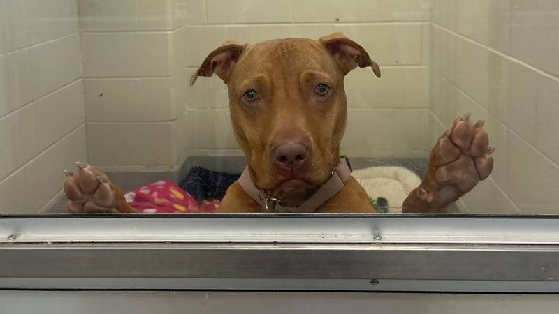 Dorito, 2 years old, was found as a stray in Toledo in March 2021. She spent 139 days at the...