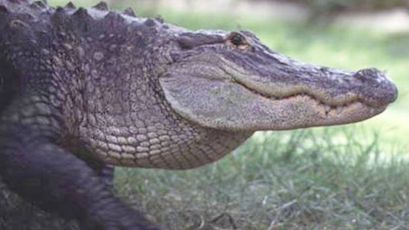 A generic photo of an alligator.