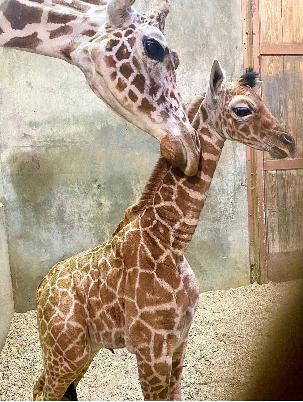 Memphis Zoo welcomes baby giraffe to join the herd
