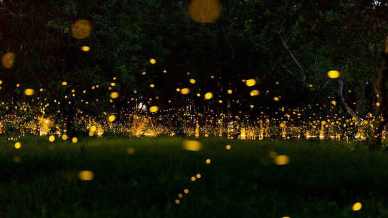 Lightning bugs love warm, humid areas. Because of this, they thrive in tropical regions as well...