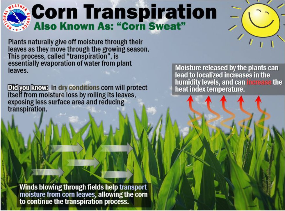 Explanation on corn sweat