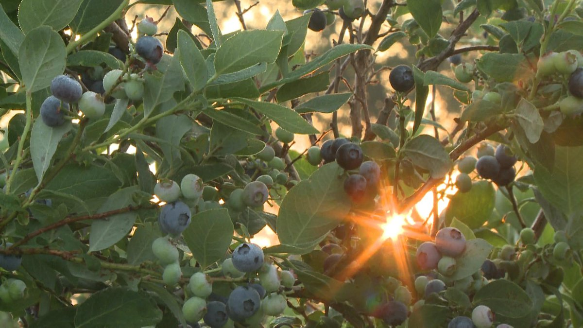 Tennessee farms have plenty of blueberries and blackberries available for picking during the...