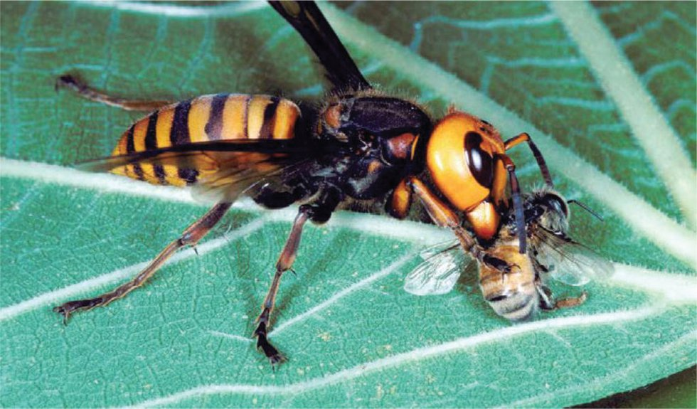 In addition to the threat to bees and beekeepers, this large venomous insect (1.5 to 2 inches...